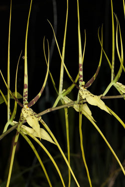 Brassia Spider's Gold 'Prolific'