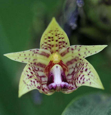 Bulbophyllum coweniorum