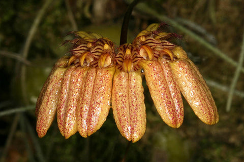 Bulbophyllum roxburghii (large)