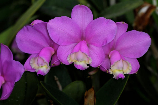 Cattleya loddigesii (select)