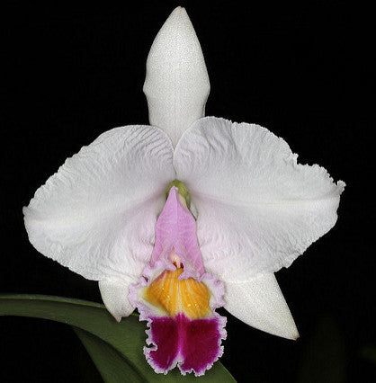 Cattleya trianae