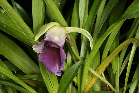 Cochleanthes discolor