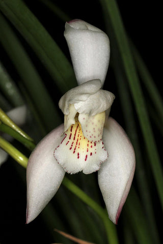 Cymbidium wenshanense (4N treated)