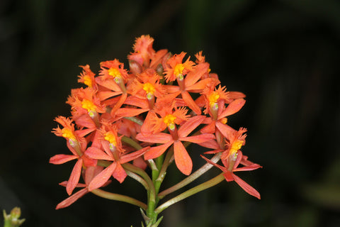 Epidendrum sp mini orange