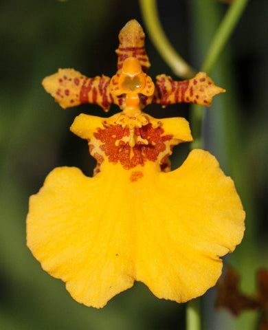Oncidium Gower Ramsey 'Orange Delight'
