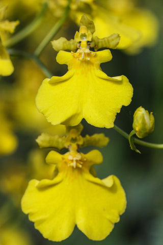 Oncidium Gower Ramsey 'Lemon Heart'