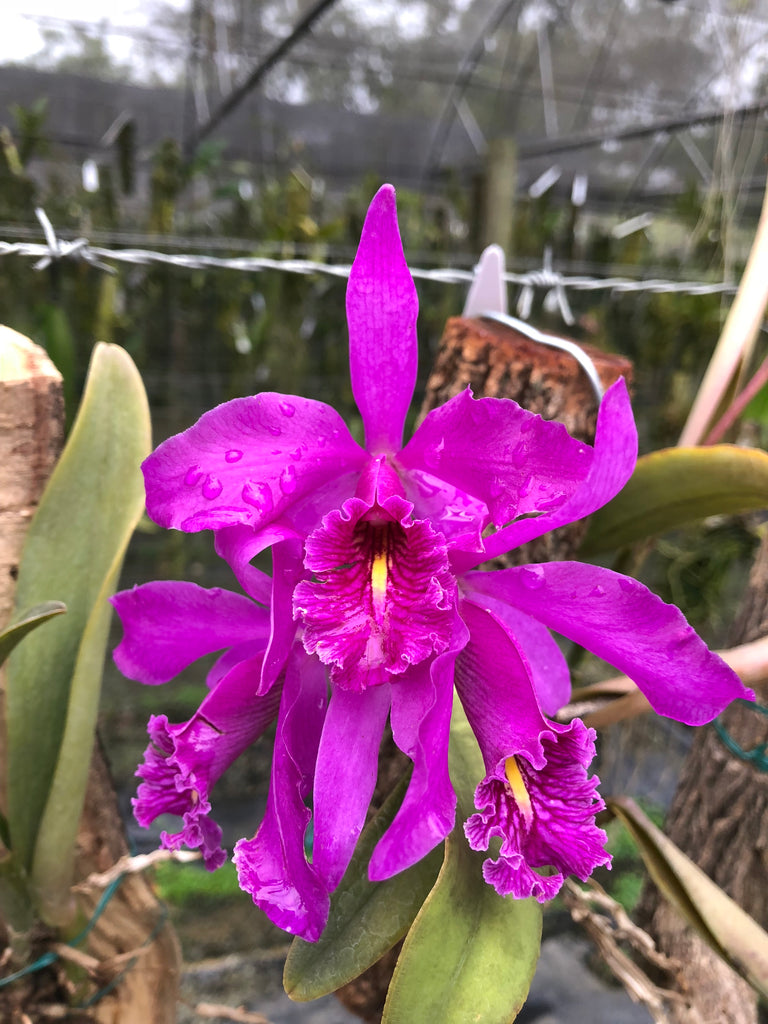 Cattleya maxima (Highland form)