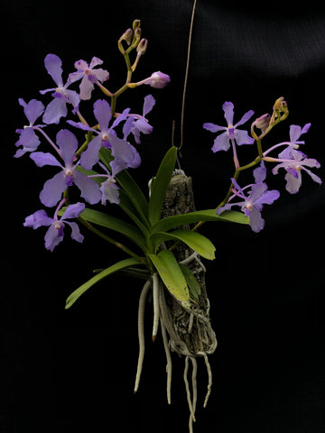 Vanda coerulea (Near flowering seedling)