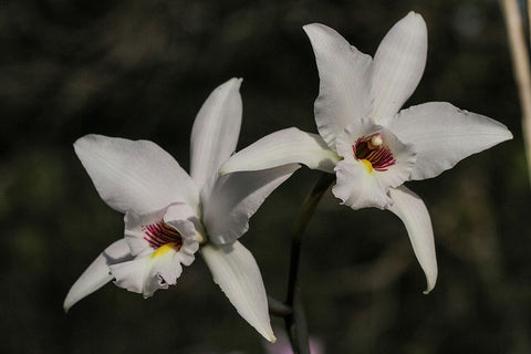 Laelia anceps 'Hazyview'