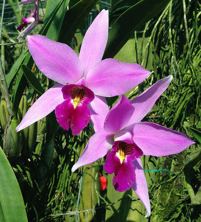 Laelia anceps 'Olifants'