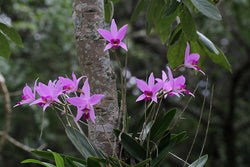 Laelia anceps (short inflorescence)