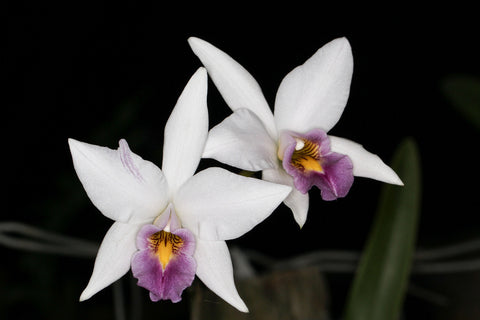 Laelia anceps (R Peterson x Best blue)