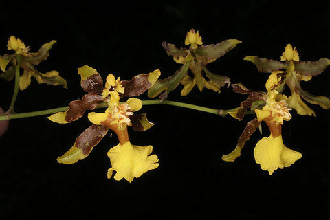 Oncidium maximum