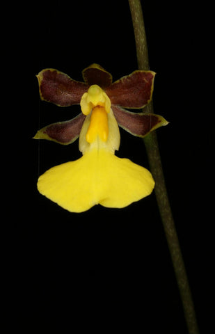 Oncidium gracile