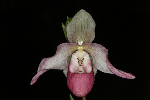 Phragmipedium Cardinale