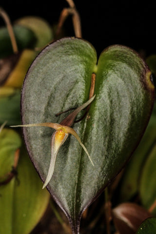 Pleurothallis index