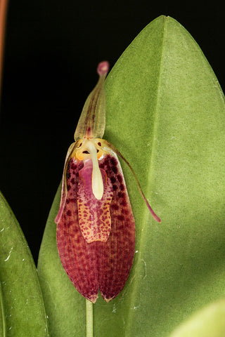 Restrepia tabae (previously aristulifera)