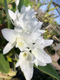 Cattleya deckeri alba (Guarianthe)