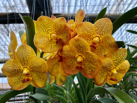 Vanda Betty May Steel