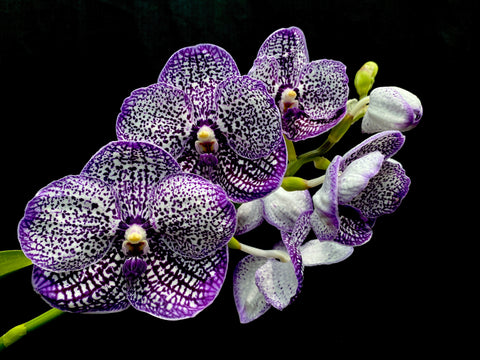 Vanda Chulee Blue 'No 7'