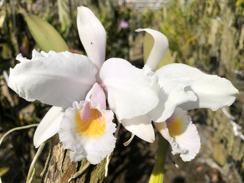 Cattleya trianae albescens