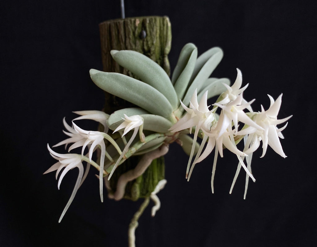 Cyrtorchis crassifolia