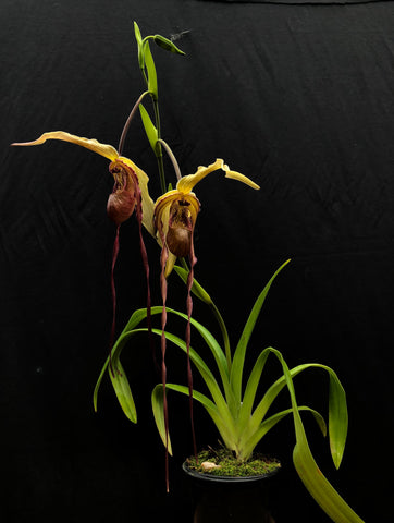 Phragmipedium Dominianum