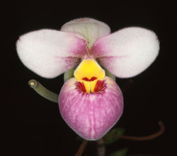 Phragmipedium schlimii