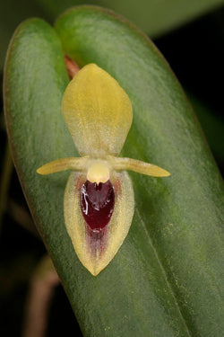 Pleurothallis species Ecuador