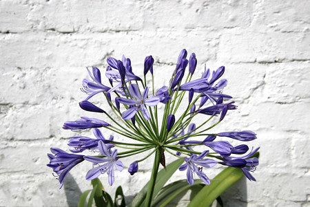 AFRICAN LILY - PETER PAN LILY OF THE  NILE