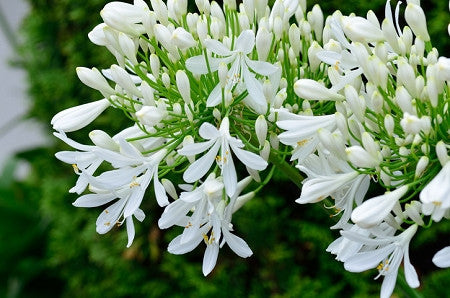 AFRICAN LILY - GETTY WHITE LILY OF THE NILE