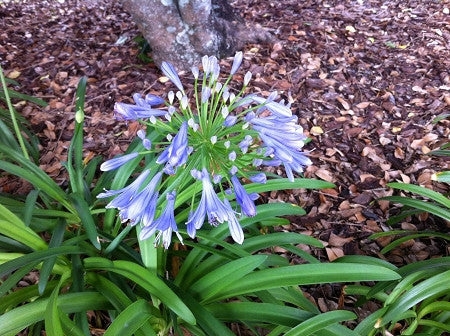 AFRICAN LILY - BLUE LILY OF THE NILE