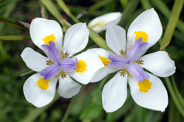 FORTNIGHT LILY (Dietes irisoides)