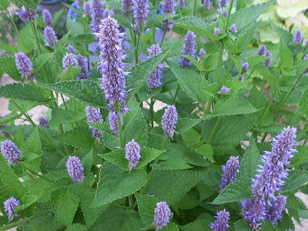ANISE HYSSOP - LICORICE HERB PLANT - Mountain Meadow Seeds