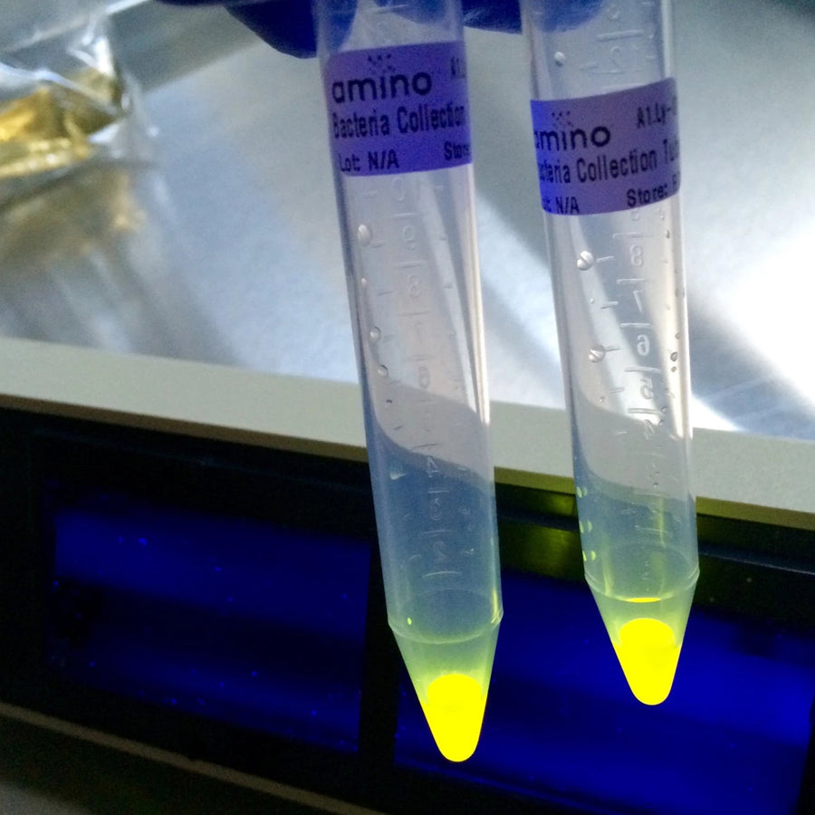 Glowing fluorescent yellow bacteria in tubes during a Genetic Engineering DIY biohacking workshop by Amino labs STEM biotechnology kits and school laboratory equipment / home laboratory equipment / biohacking laboratory equipment