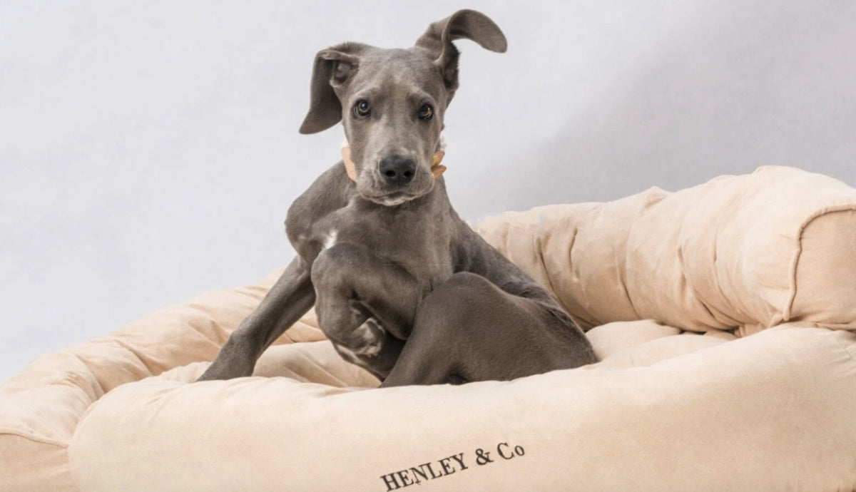 A gray dog sitting in a Henley and Co dog bed