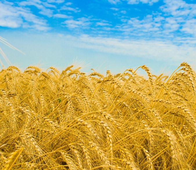 Mature Wheat Field Wallpaper AJ Wallpaper