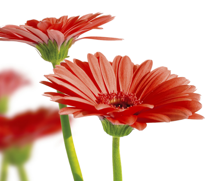 Red Chrysanthemums 1 Wallpaper AJ Wallpaper