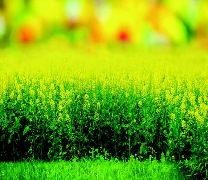 Rape Flower Field 2 Wallpaper AJ Wallpaper