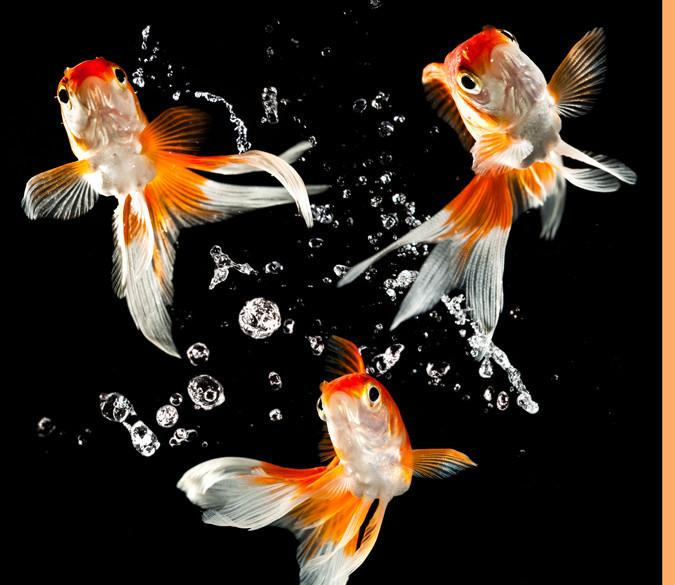 Dancing Goldfishes Wallpaper AJ Wallpaper