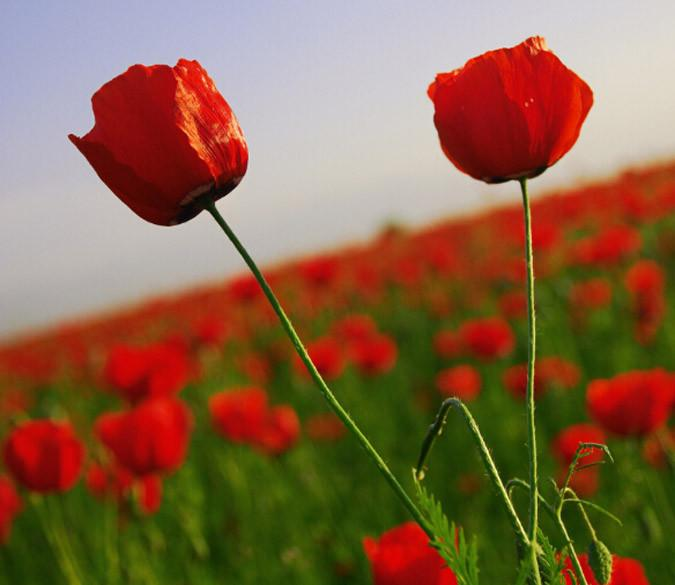 Red Flowers Field 2 Wallpaper AJ Wallpaper