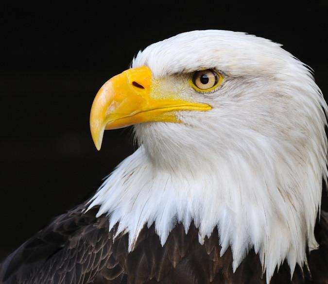 Beautiful Eagle Wallpaper AJ Wallpaper