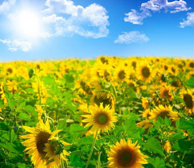 Bright Sunflowers Wallpaper AJ Wallpaper