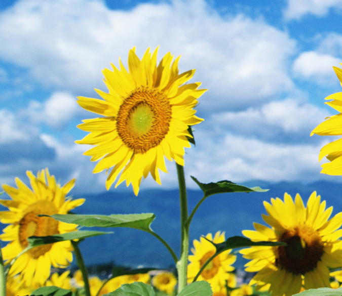 Bright Sunflowers 4 Wallpaper AJ Wallpaper