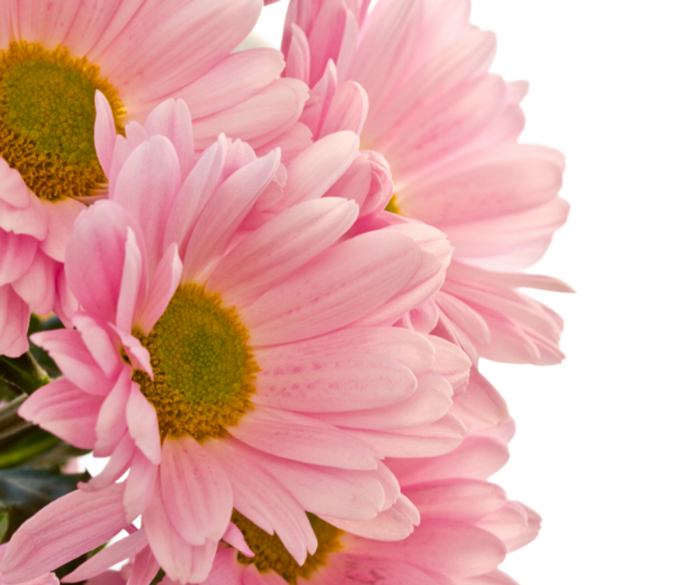 Pink Chrysanthemums Wallpaper AJ Wallpaper