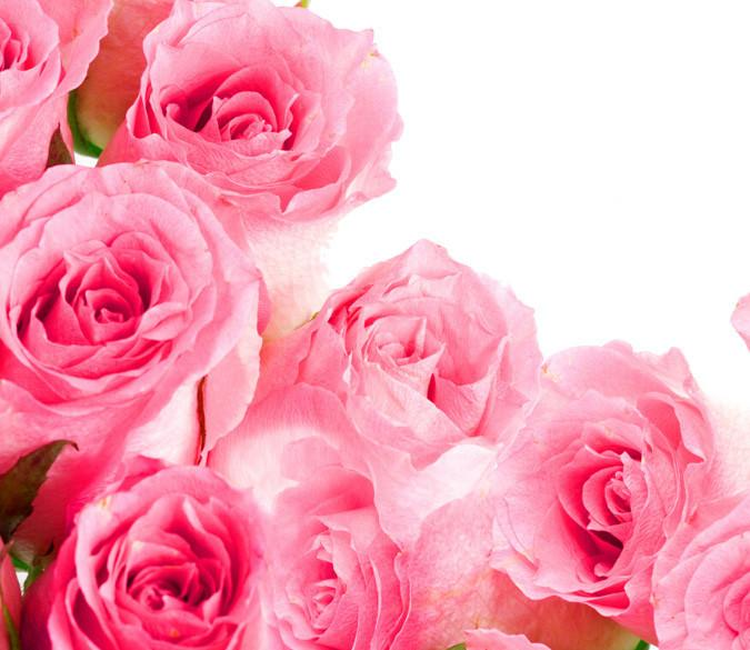 Pink Roses 5 Wallpaper AJ Wallpaper