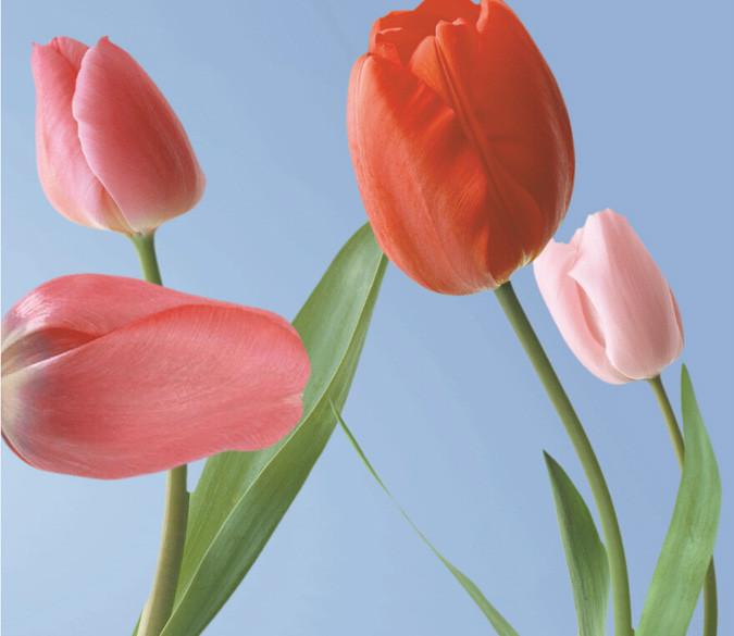 Fresh Tulips Wallpaper AJ Wallpaper