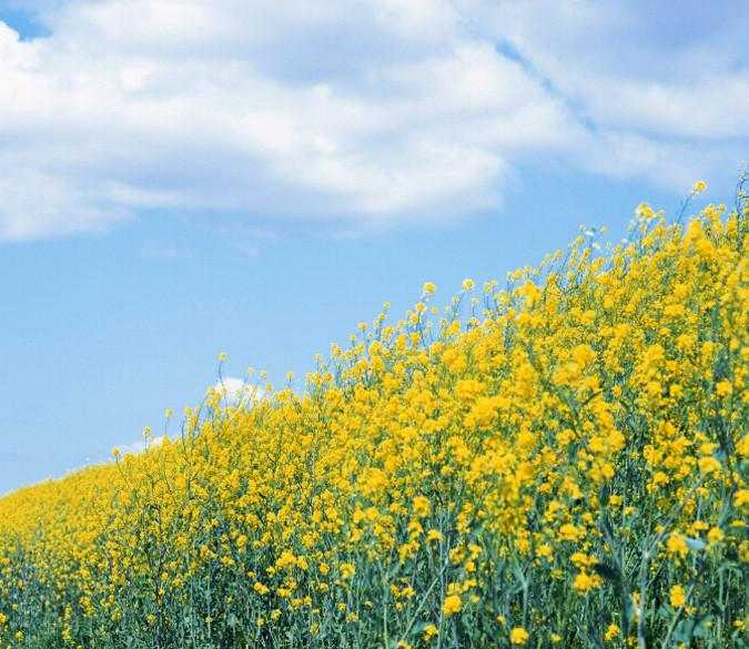 Rape Flower Field 4 Wallpaper AJ Wallpaper