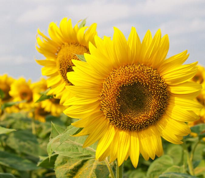 Beautiful Sunflowers Wallpaper AJ Wallpaper