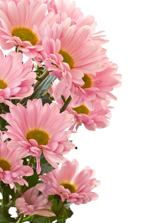 Pink Chrysanthemums 1 Wallpaper AJ Wallpaper